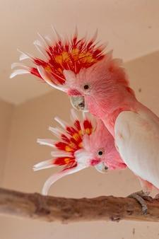 Il cacatua del maggiore mitchell (lophochroa leadbeateri), noto anche come il cacatua di leadbeater o il cacatua rosa.
