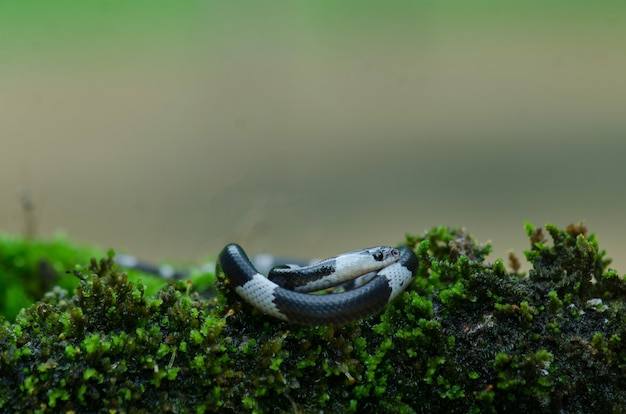 Serpente lupo fasciato malese (lycodon subcinctus) Foto Premium