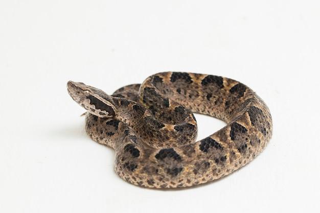 Serpente vipera di terra: la malese, calloselasma rhodostoma isolato su superficie bianca