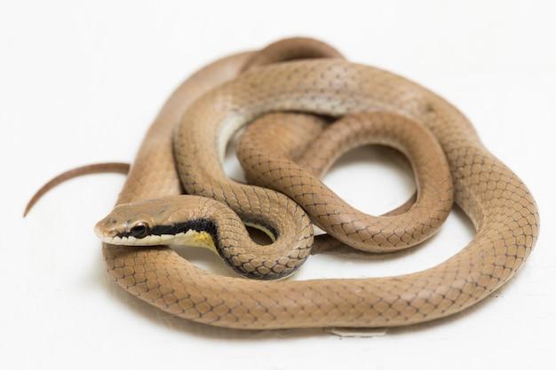 La malese ringneck snake liopeltis tricolore isolato sulla superficie bianca
