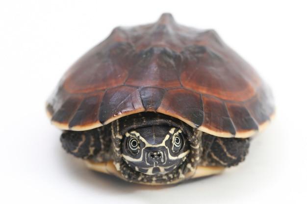 La tartaruga malese mangia-lumache su uno spazio bianco