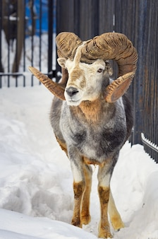 Argali maschio nella neve. pecore selvatiche di montagna altai con possenti corna a spirale tra cumuli di neve