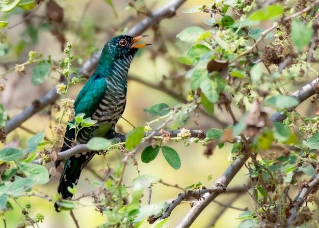 Cuculo smeraldo asiatico maschio che si appollaia sul ramo