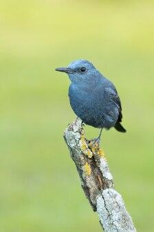 Tordo maschio blu con le ultime luci del giorno sulla sua roccia preferita