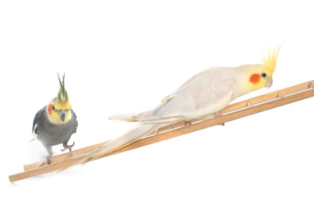 Cockatiel maschio giocando