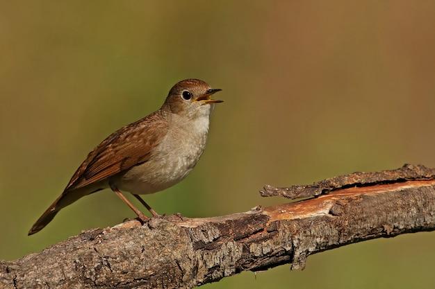 Maschio di usignolo comune che canta, uccelli, uccelli canori, luscinia megarhynchos