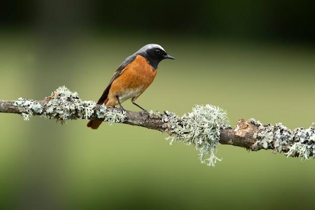 Codirosso spazzacamino maschio con l'ultima luce del giorno in un bosco di querce