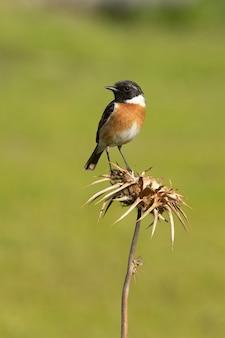 Stonechat comune maschio con piumaggio stagione degli amori nella natura
