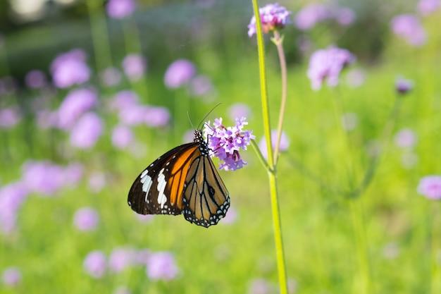 Farfalla maschio comune della tigre