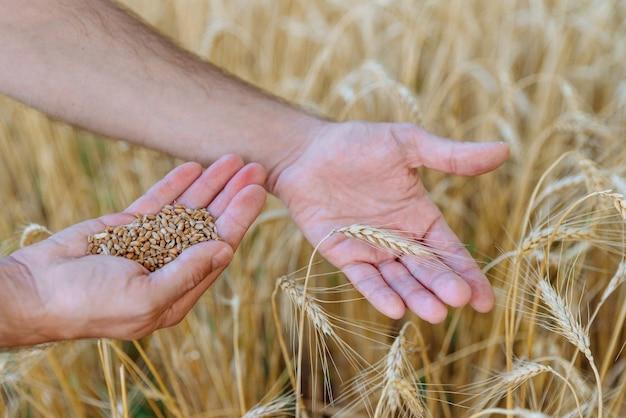 L'agricoltore maschio tiene la spiga di grano in una mano e i chicchi di grano nell'altra sullo sfondo del campo