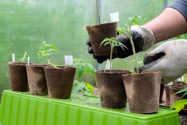 Coltivatore maschio che tiene vaso organico con pianta di pomodoro prima di piantarlo nel terreno.