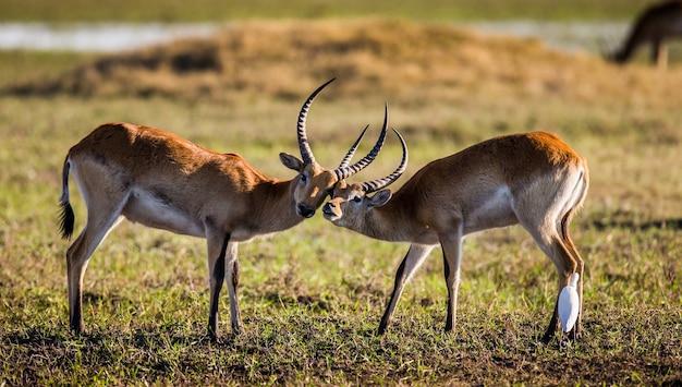 L'antilope maschio e femmina sono durante la stagione degli amori
