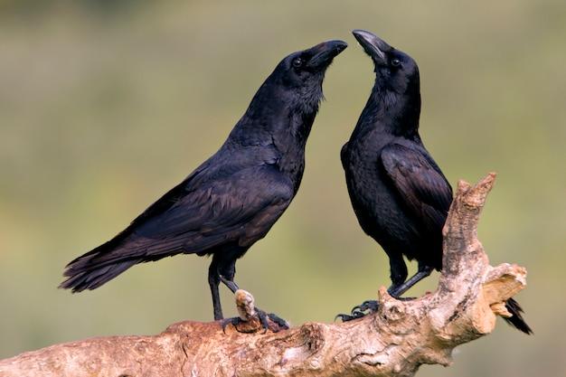 Maschio e femmina di corvo comune con le prime luci del giorno nella stagione degli amori, corvo, corvo, uccelli, corvus corax
