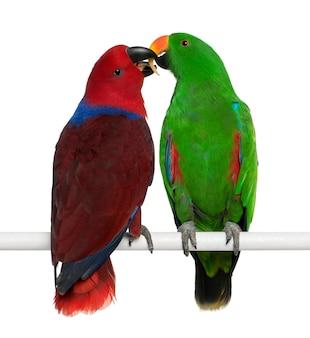 Maschio e femmina pappagalli eclectus eclectus roratus che si appollaia isolato