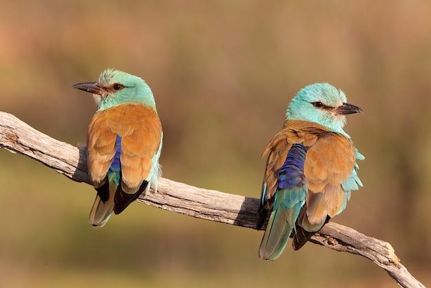Maschio e femmina di rullo europeo con le prime luci del giorno nella stagione degli amori, uccelli, coraciformi, coracias garrulus