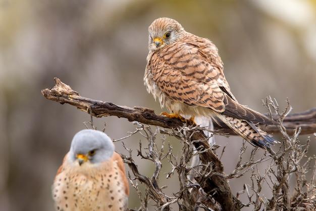 Maschio e femmina del gheppio minore nella stagione degli amori, falco, uccelli, rapace, falco, falco naunanni