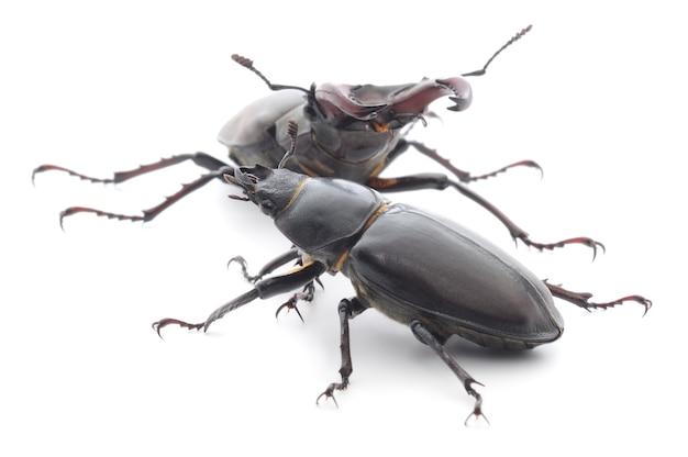 Il maschio e la femmina dello scarabeo rinoceronte isolato su bianco.