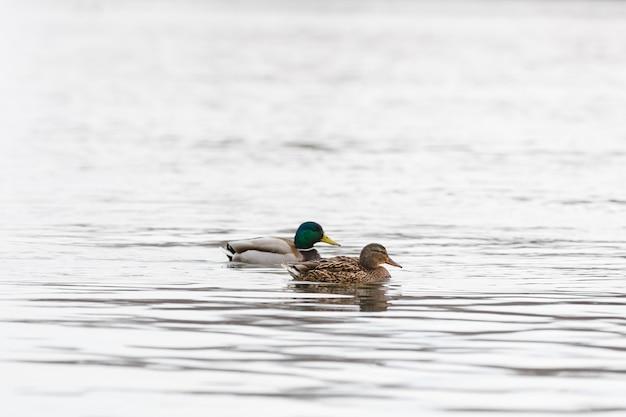 Maschio e femmina sull'acqua del fiume all'inizio della primavera