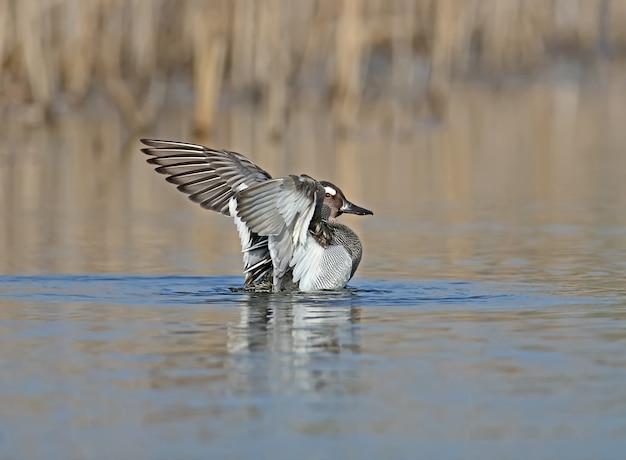 Un maschio garganey bagna in acqua con le ali spalancate e la riflessione
