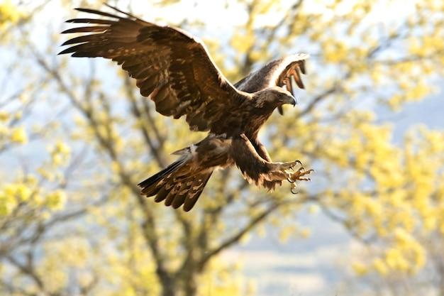 Aquila reale maschio su un ramo in una foresta di querce con la prima luce del giorno