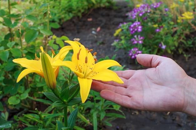 Mano maschile che tiene un fiore di giglio giallo nel giardino estivo con piante verdi sfocate sullo sfondo. profondità di campo.