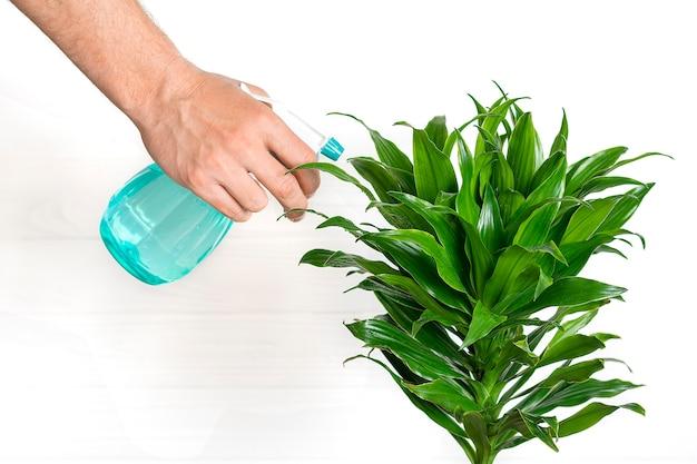 La mano maschio tiene lo spruzzatore e spruzza la cura della pianta fragrante della dracaena della pianta della casa, concetto della decorazione domestica