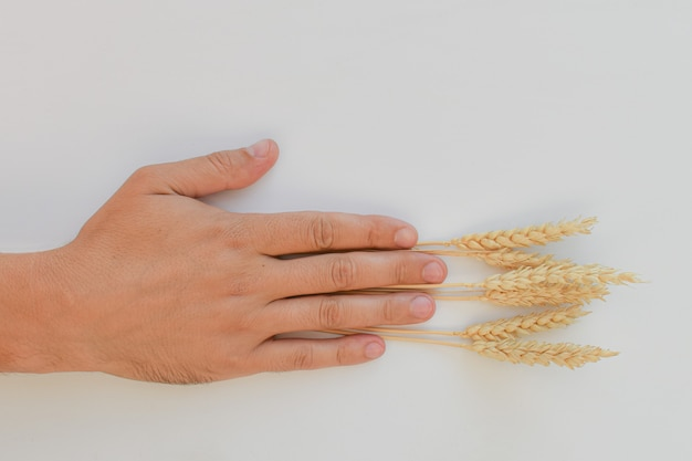 Mano maschile, palmo aperto, che tiene spighe di grano. le spighette sono poste tra le dita della mano. concetto di raccolta in agricoltura, lavoro dei lavoratori. spazio per il testo.