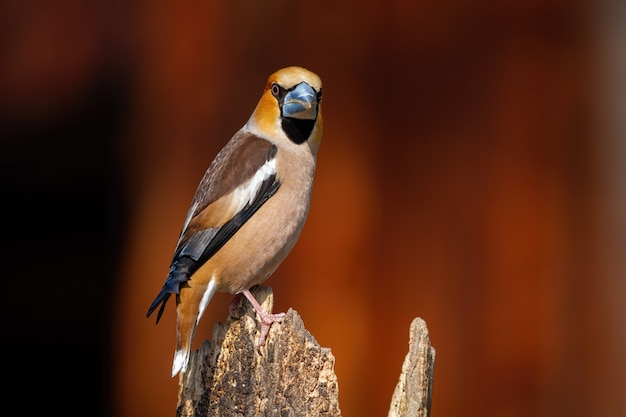 Falco maschio che si siede sul tronco e che gira intorno
