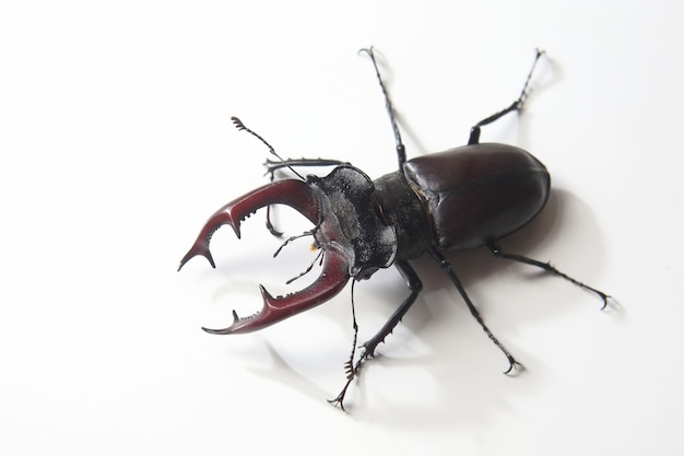 Cervi dello scarabeo dell'insetto maschio con i palchi su bianco