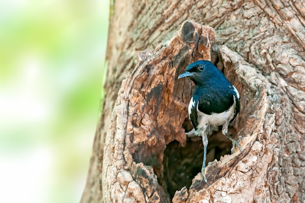 Un pettirosso gazza maschio è al buco del nido su un albero