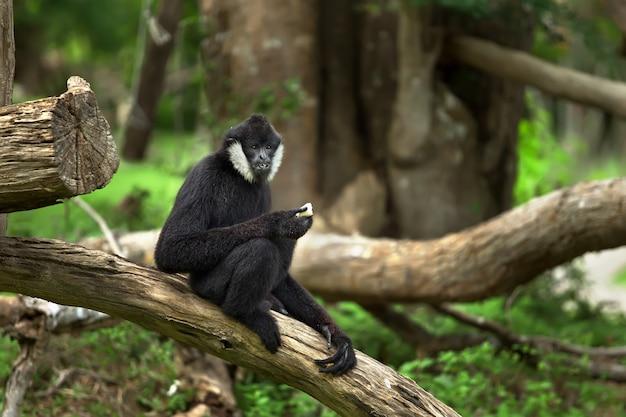 Il maschio di scimmia, di colore nero, siede su un albero nel bosco