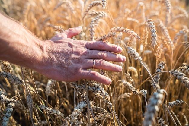 Palma maschio con spighe di grano dorato da vicino. raccolta del concetto di raccolto