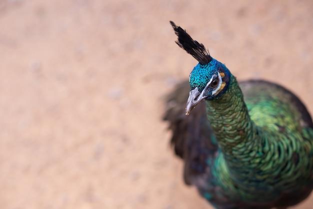 Testa e collo del pavone maschio.