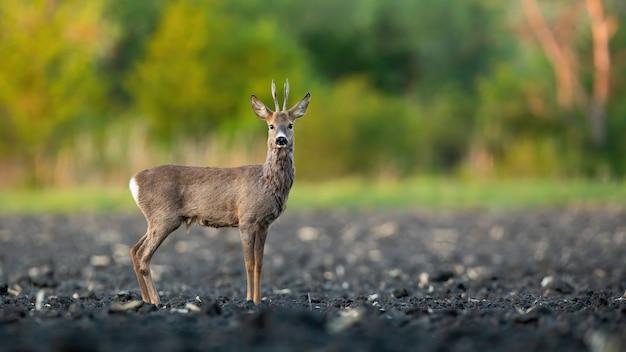 Maschio di capriolo buck in piedi su un campo fangoso in primavera la natura.