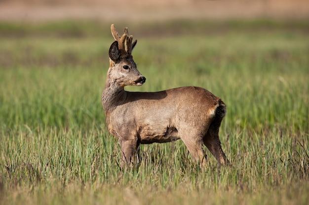 Capriolo maschio con rivestimento invernale e corna in crescita guardando indietro sul prato soleggiato