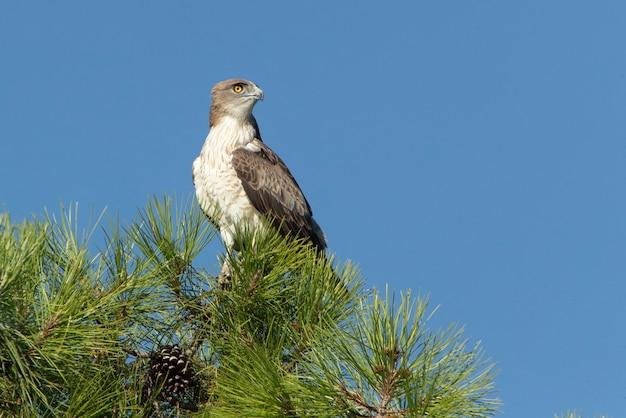 Maschio shorttoed eagle su un pino con le prime luci dell'alba