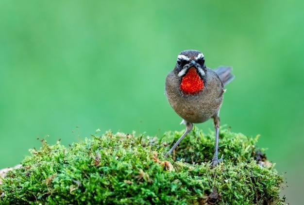 Rubythroat siberiano maschio che si appollaia sui muschi