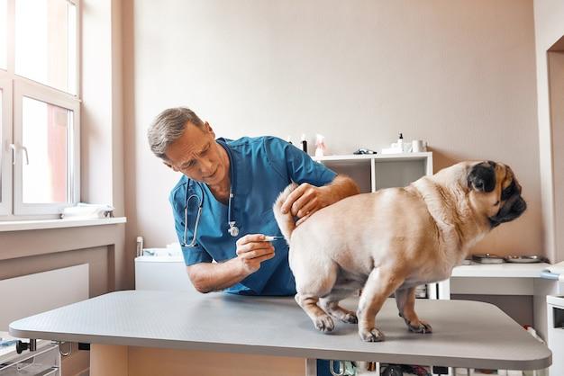 Veterinario maschio sta misurando la temperatura corporea di un carlino presso la clinica veterinaria