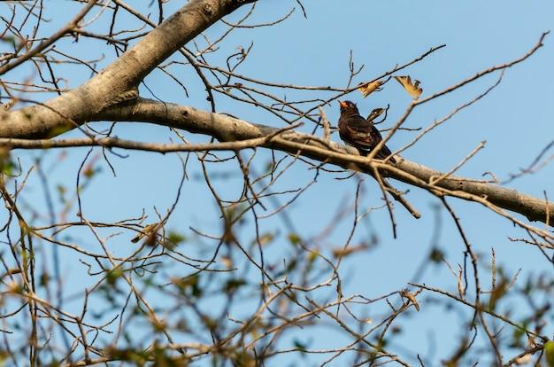 Cuculo viola maschio che si appollaia sul ramo, tailandia