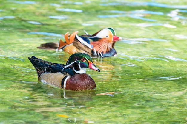 Anatra di legno maschio e anatra mandarina maschio, l'anatra selvatica è stata introdotta come un animale domestico è un colorato che galleggia felicemente sulla superficie dell'acqua limpida