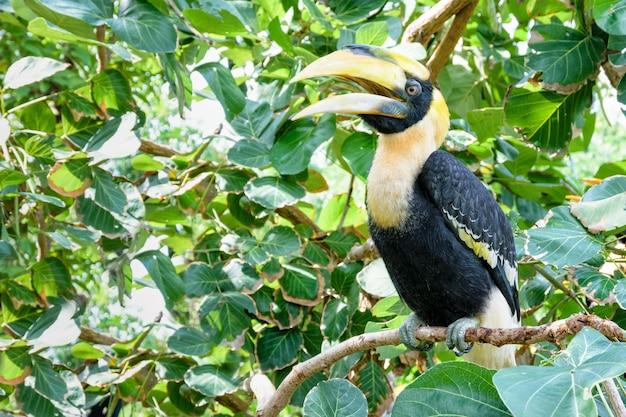 Maschi grande hornbill o buceros bicornis. è un grande uccello con piume bianche e nere e un casco giallo e nero brillante in cima al suo becco massiccio sono posatoi sul ramo di un albero
