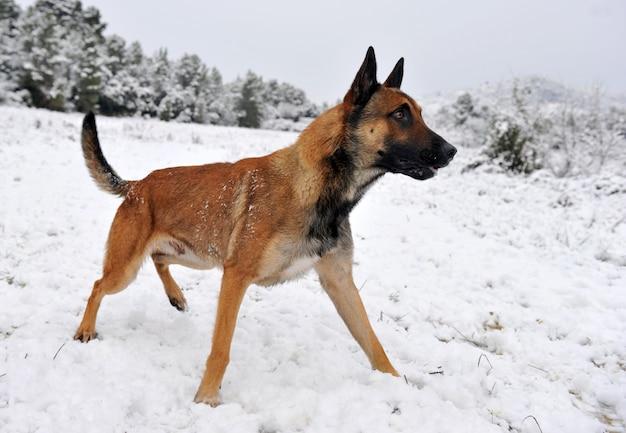 Malinois nella neve