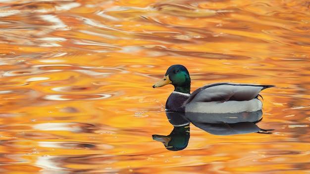 Mallard duck su una bellissima superficie dell'acqua. anas platyrhynchos. maschio.