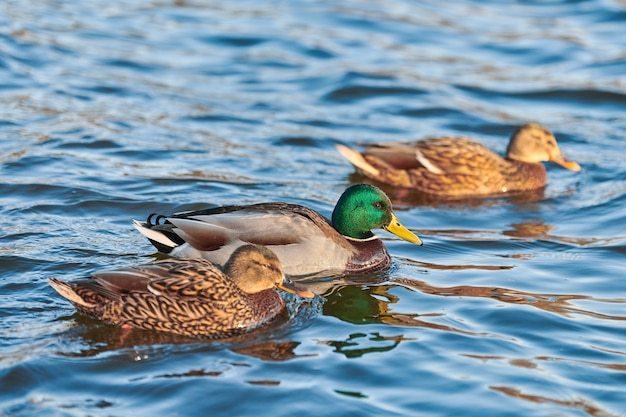Uccelli acquatici del germano reale che galleggiano nell'acqua. primo piano di anas platyrhynchos, anatra germano reale.