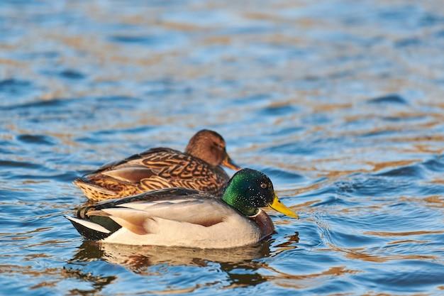 Uccelli acquatici del germano reale che galleggiano nell'acqua.