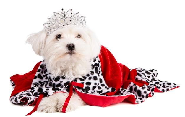 Bichon maltese con corona regina