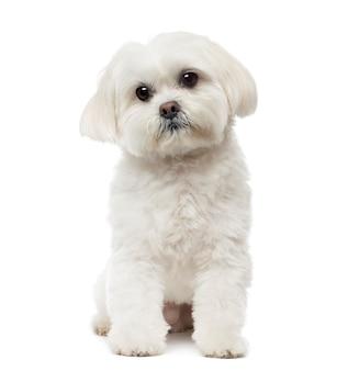 Cane maltese seduto, fantasticando, isolato su bianco