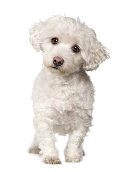 Cane maltese con 10 anni. ritratto di cane isolato