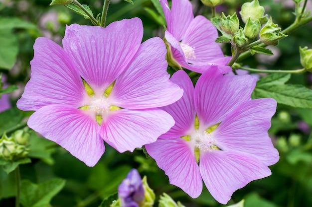 La malva alcea è una pianta della famiglia delle malve. malva viola in estate, carta con motivo floreale. sfondo della natura, carta da parati floreale. fiori selvatici. concetto di giardinaggio.