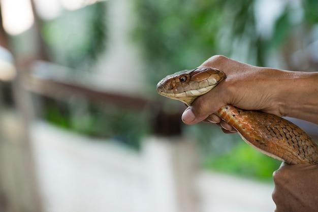 Un uomo prende un serpente cobra reale a mani nude